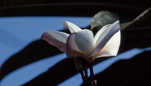 Flower - Ektachrome - 1986