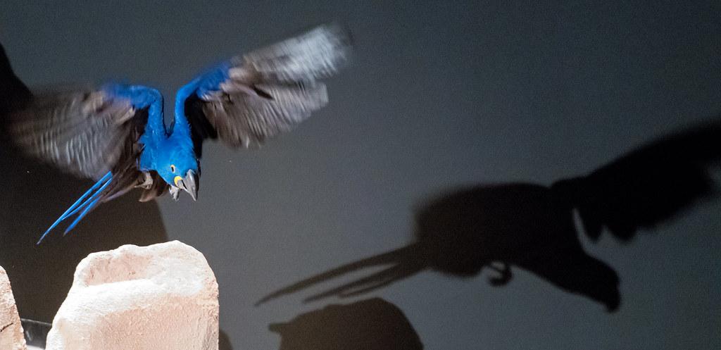 Blue Macaw_1