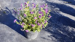 Solanum xanti 'Mountain Pride' 5g -bm SKU 1001-724-797