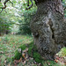 Ancient oak, Dalkeith Country Park