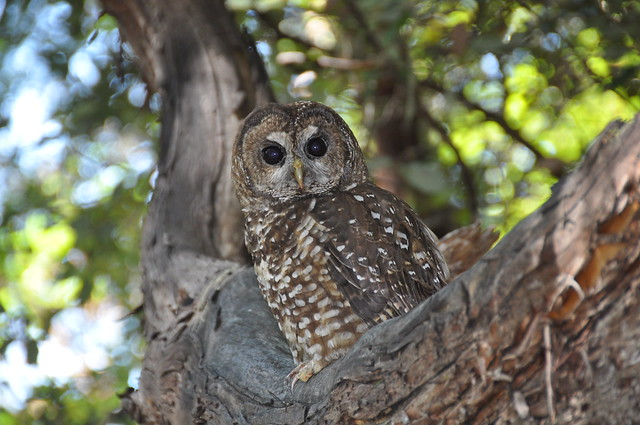 photo of spotted owl