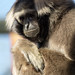Pilated Gibbon