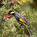 White Cheeked Honeyeater1