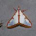 Crambidae: Cirrhochrista sp. 1