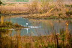 Egret on the River