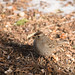 rufous_crowned_sparrow-20180122-100