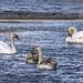 Round Wales Walk 112 - Swan Family