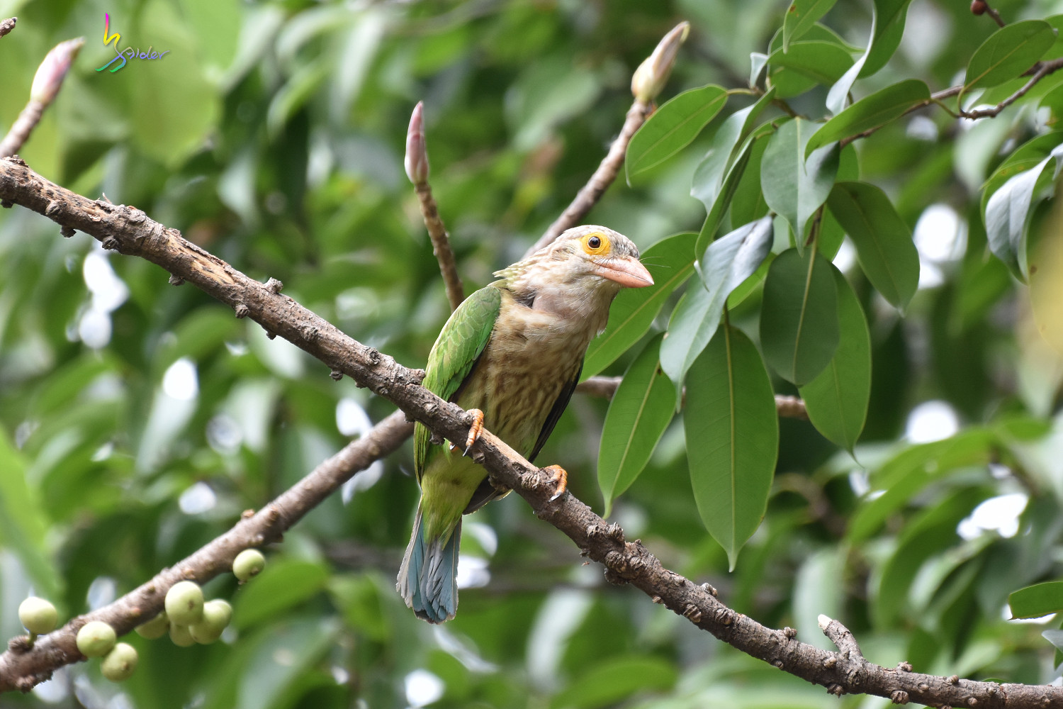 Lineat_Barbet_1651