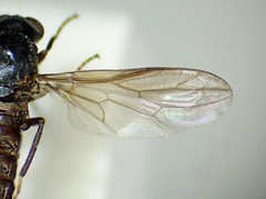 Scenopinus niger female wing - Windsor Forest, Berkshire