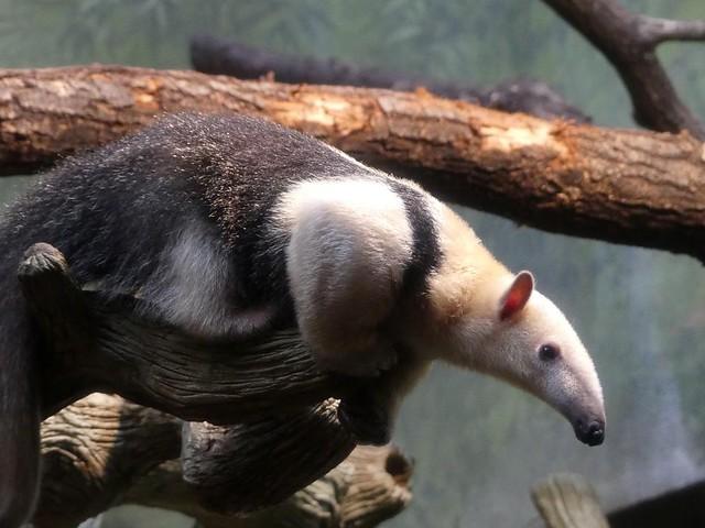 Tamandua, Zoo Frankfurt