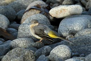 Motacilla cinerea (Grey Wagtail) - Guernsey