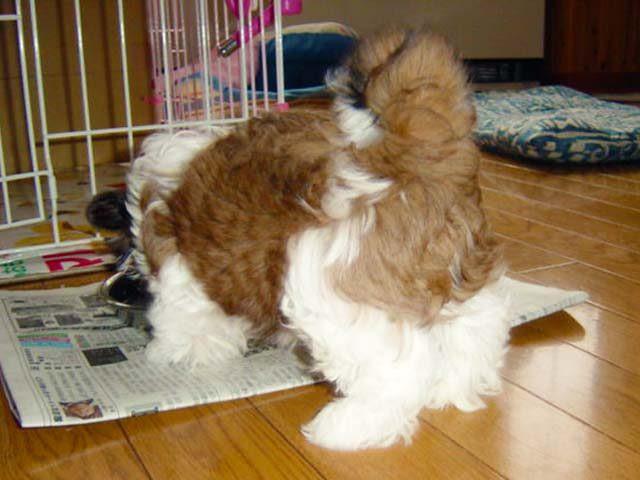 シーズー子犬のお食事タイム生後3か月