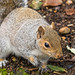 Grey Squirrel, Jan 2018, 3