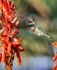#Hummingbird #TeamCanon