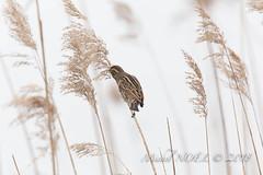 Bruant des roseaux - Emberiza schoeniclus - Common Reed Bunting : Michel NOËL © 2018-2626.jpg