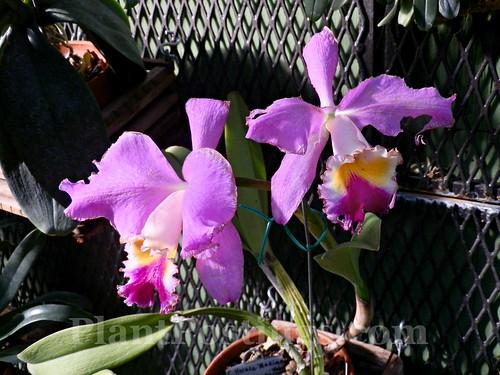 orchid c. horace