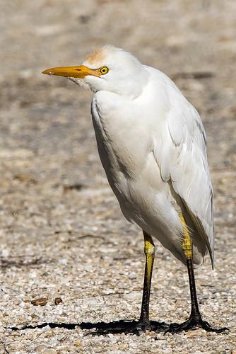 fl.merritt.cattle egret