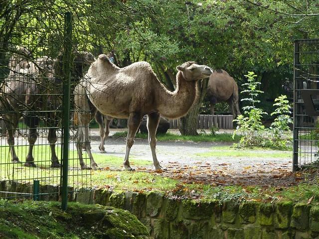 Trampeltier, Zoo Dresden