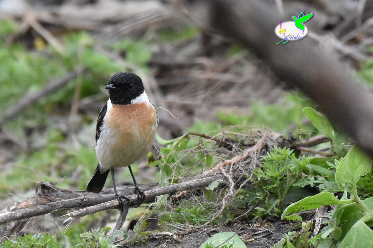 Common_Stonechat_9533