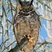 Hibou Grand Duc Owl