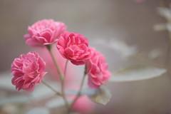 Summer Roses...