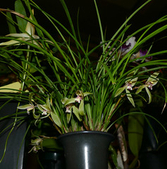 photographed at the 2-18 san francisco orchid society meeting; Cymbidium goeringii species orchid