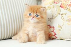 Red (Orange) Kittens