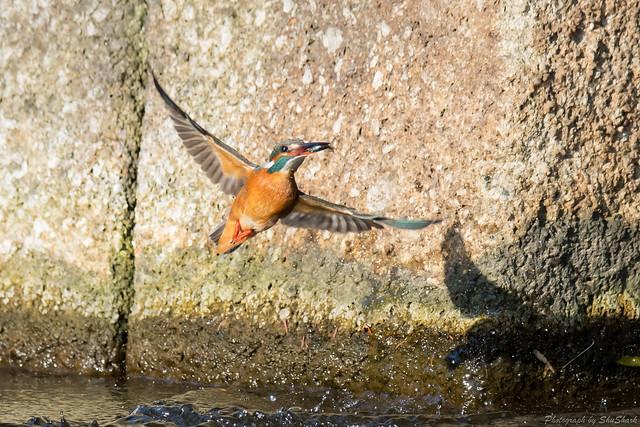 20180121-kingfisher-DSC_5089