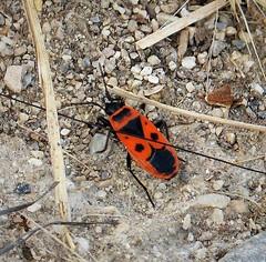 Fire Bug, Pyrrhocoris apterus. Pyrrhocoridae.