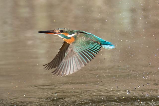20180127-kingfisher-DSC_6077