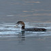 Common Loon with Prey