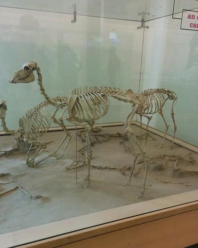 Stenomylus #newyorkcity #newyork #manhattan #amnh #fossil #stenomylus #camel #mammal #extinct #americanmuseumofnaturalhistory #latergram