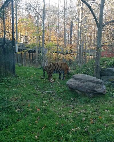 Tiger #torontozoo #toronto #cats #tiger #latergram