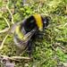 Bombus soroeensis (Broken-belted Bumblebee)