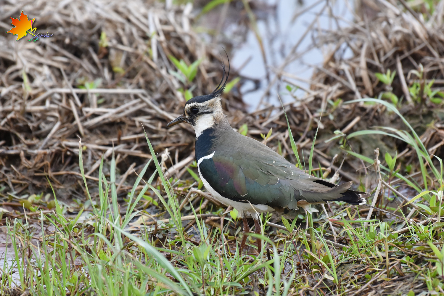 Northern_Lapwing_8571