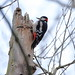 Colin the Woodpecker