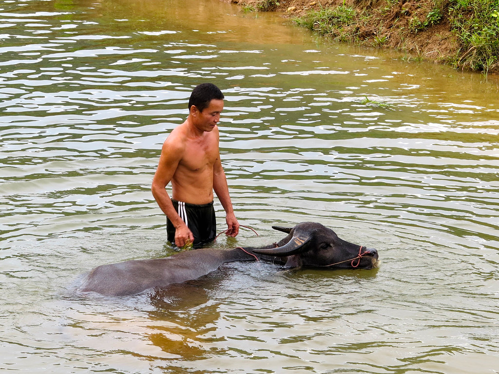Búfalo en Mai Chau