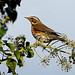Redwing------ Turdus iliacus