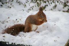 Ekorrar, squirrels