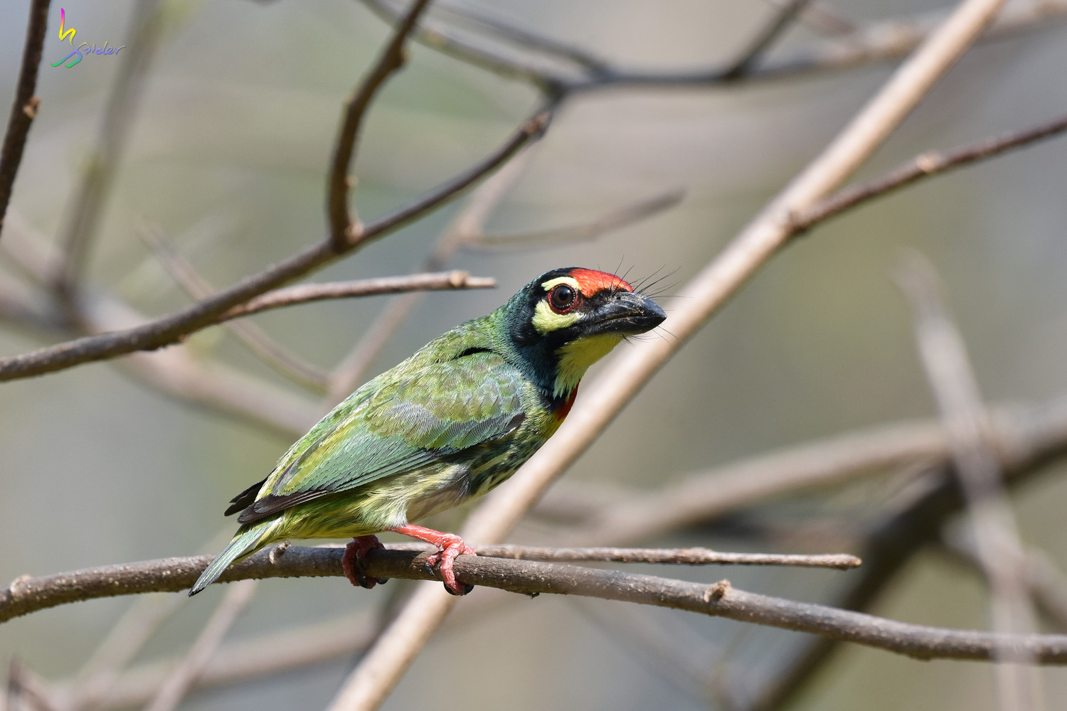 Coppersmith_Barbet_5066