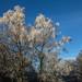 Frosty Trees (Birkhill)