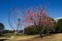 Early-Blooming Sakura and Ferris Wheel, Kasai Seaside Park