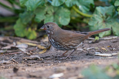 Fox Sparrow, sooty (Passerella iliaca, unalaschcensis)
