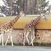 Giraffe's at Chester Zoo