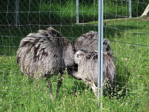 20170607 09 016 Regia Regia Wünschensuhl Emu Strauß Tier