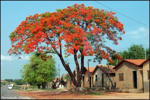Flamboyant em Axixá do Tocantins - Tocantins