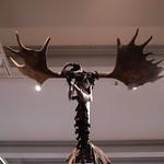 Harris museum 'Poulton Elk'