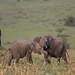 African elephant by Jens Hyldstrup Larsen