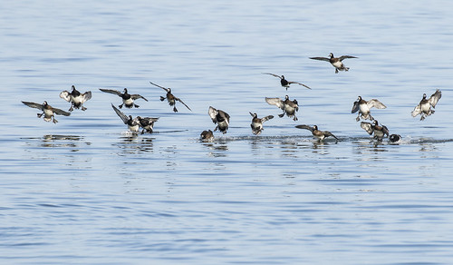 Scaup Coming Down I