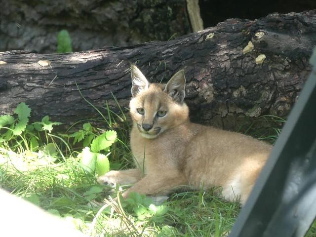 Karakal, Zoo Dresden
